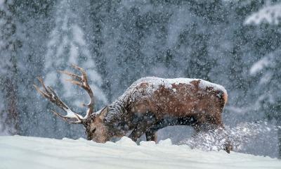 Un cervo nella neve sull'Altopiano