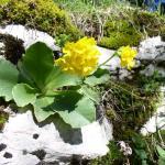 Primula Auricola - Giardino botanico alpino di Lusiana